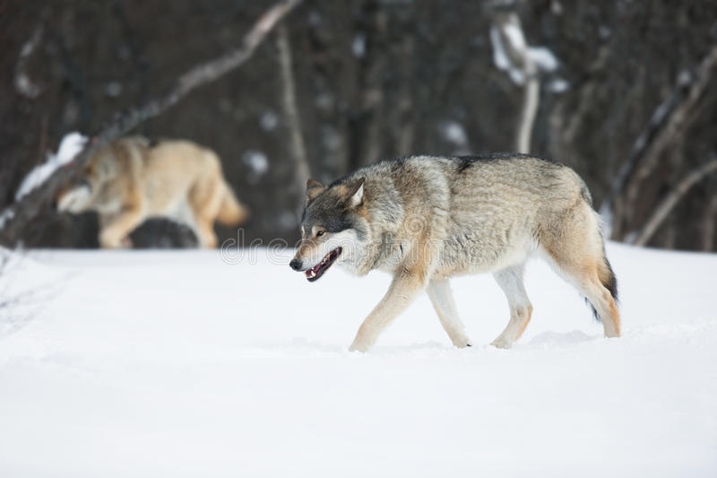 Download Two Wolves In The Snow Stock Photo - Image: 39182263