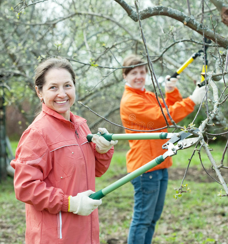 Two women pruning apple tree stock photo