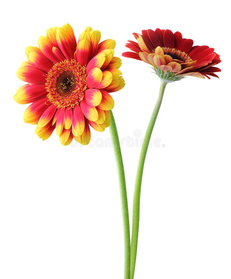 Free Two Wonderful Gerberas Daisies Isolated On White Background. Royalty Free Stock Image - 115283516