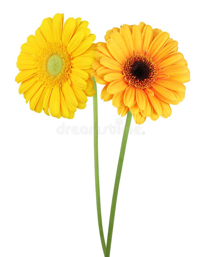 Free Two Wonderful Gerberas Daisies Isolated On White Background, I Royalty Free Stock Image - 115355886