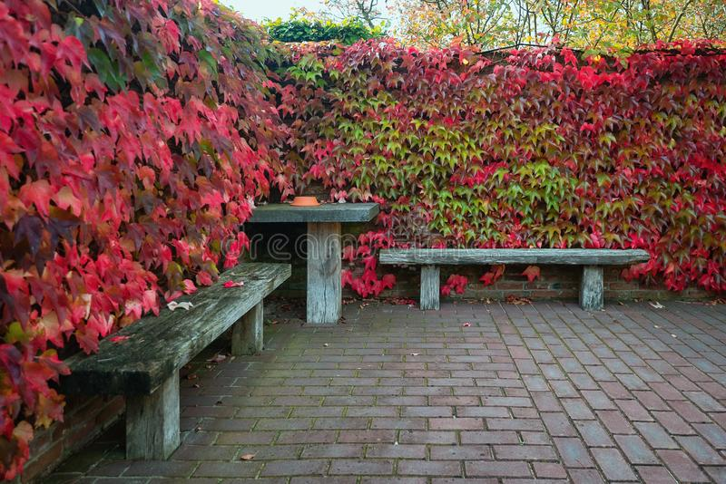 Two wooden benches and table surrounded by a wall overgrown by a creeper in beautiful autumn colors royalty free stock photo