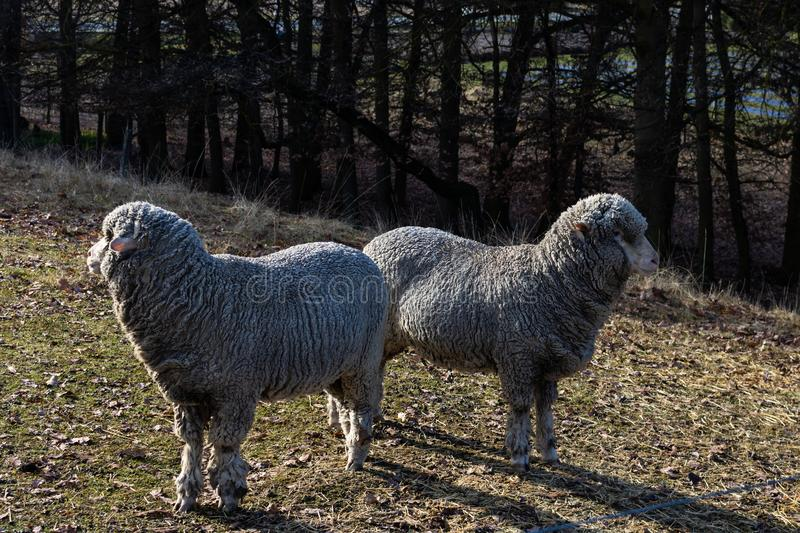 Two sheep looking away. Two wool covered sheep looking off into distance in opposite directions in autumn stock photos