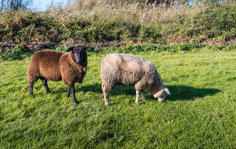 Two woolly sheep in different colors royalty free stock photography