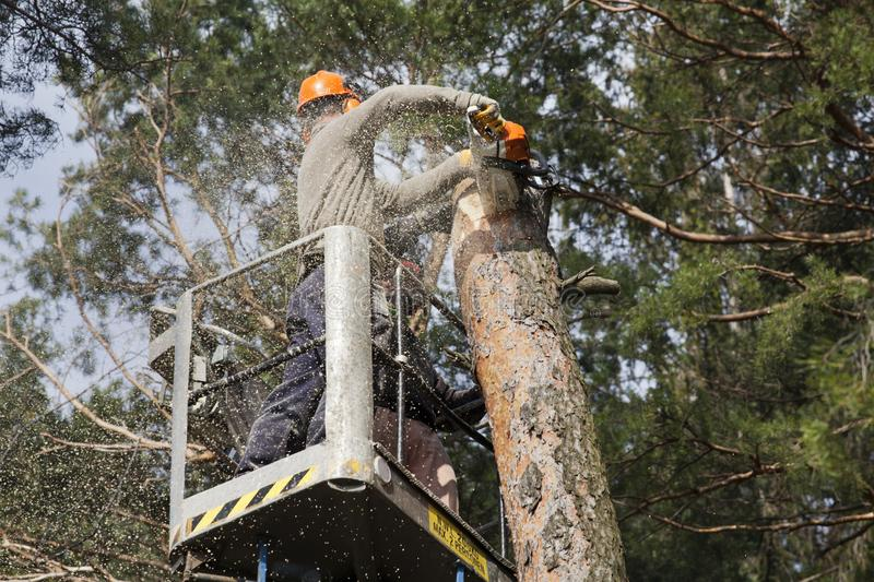 Two workers with a chainsaw trimming the tree branches. On the high Hydraulic mobile platform and cut down a tree royalty free stock images