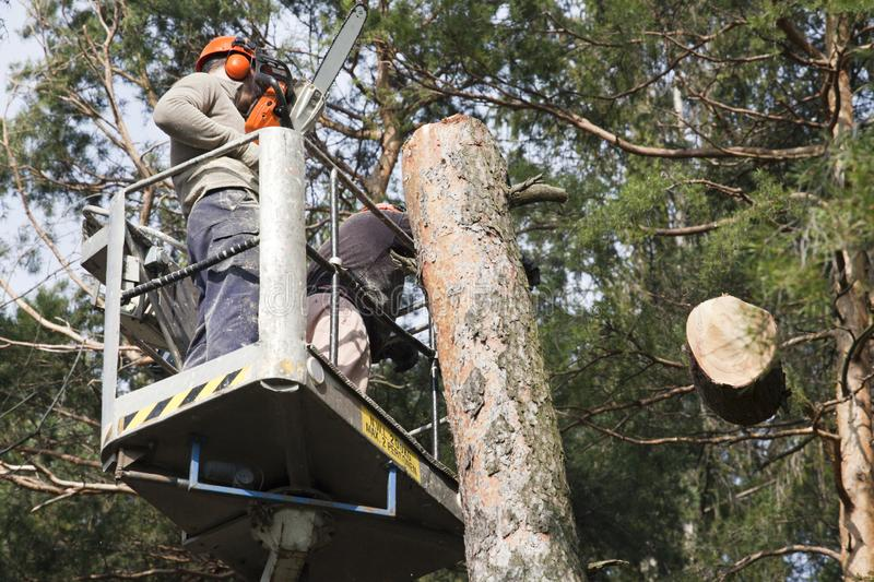 Two workers with a chainsaw trimming the tree branches. On the high Hydraulic mobile platform and cut down a tree stock photography