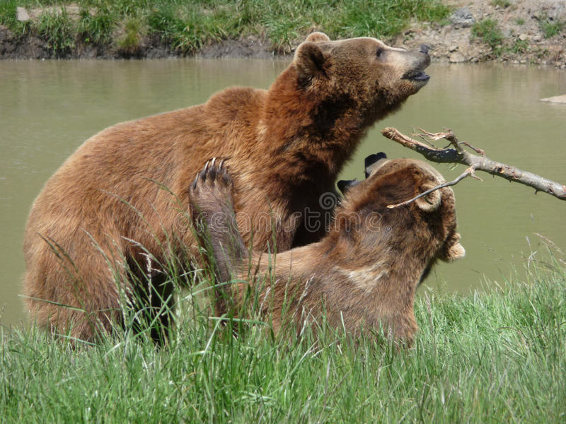 Two Wrestling Grizzly Bears royalty free stock images