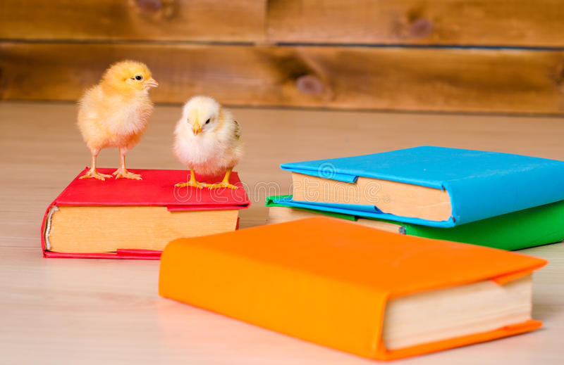 Two yellow alive chickens with pile of books. Two yellow alive little chickens with pile of variegated books closeup indoors stock images