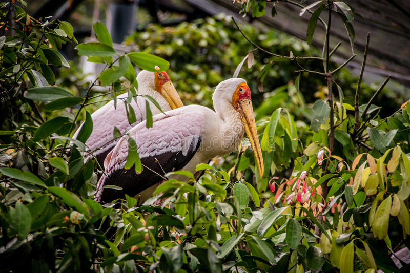 Two yellow-billed storks resting on a tree. royalty free stock images