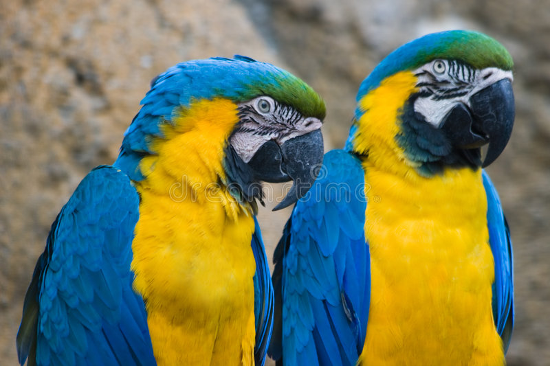 Download Two Yellow And Blue Parrots Stock Image - Image of parrots, splendid: 9335055