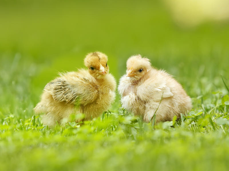 Two yellow chicken, young chicken, broilers. Two yellow chicken in the green grass stock image