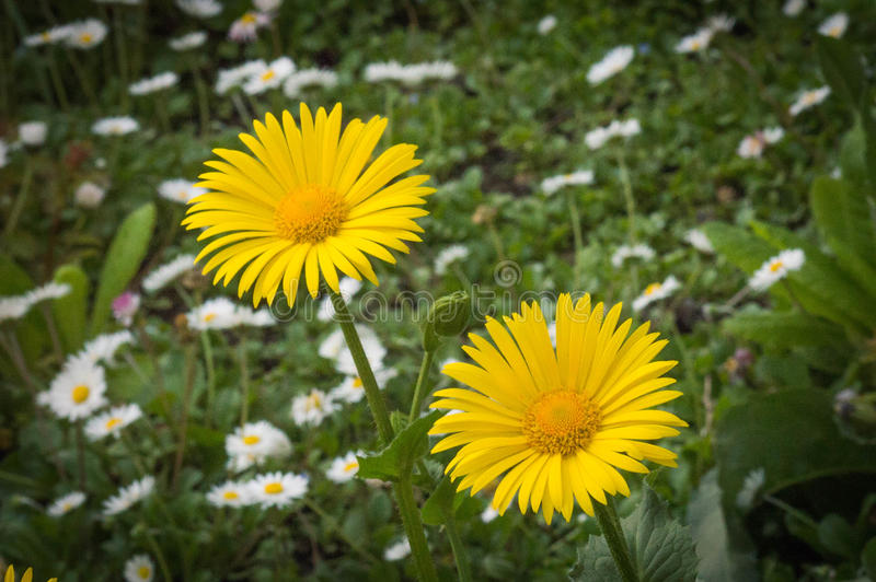 Two yellow daisy flowers at green background with white daisies royalty free stock photos