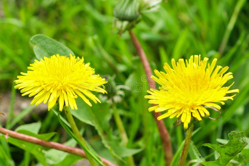Two yellow dandelion in grass. Macro flower background stock image