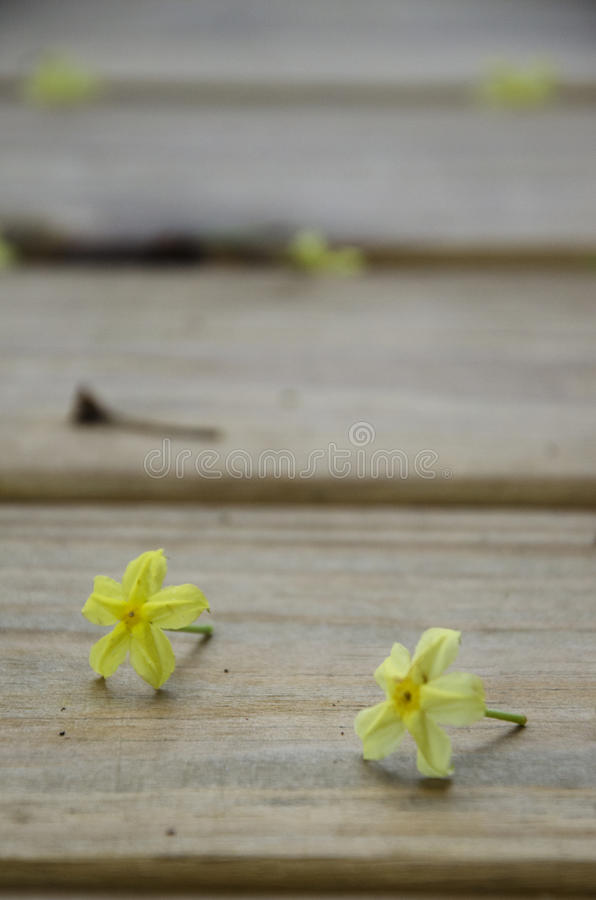 Two Yellow Dwarf Mussaenda Blossoms on Wooden Planking After Rainstorm royalty free stock photography