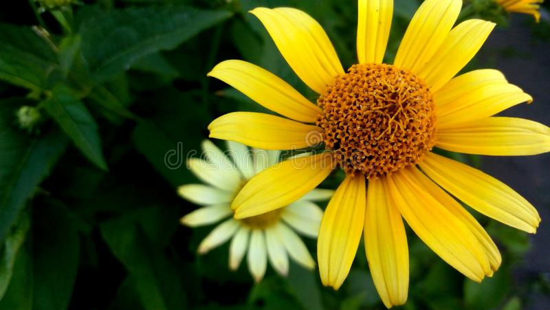 Two yellow fall flower royalty free stock images