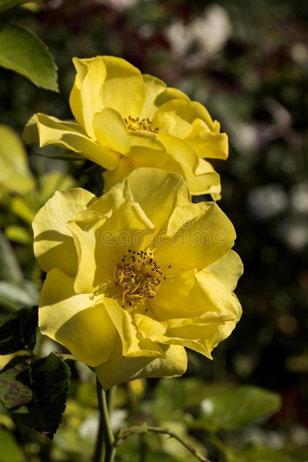 Two yellow garden roses in the garden on green bac. Kground royalty free stock photo