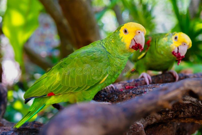 Two yellow headed parrots perched on a tree. A couple of yellow headed parrots perched on a tree branch, amazon, amazona, oratrix, america, animal, ara, aviary royalty free stock photos