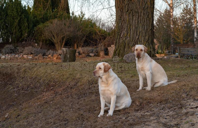 Two yellow labrador retriever dogs sitting. On the ground in a rural area, the dog looks at us, but the bitch looks at the distance stock photography