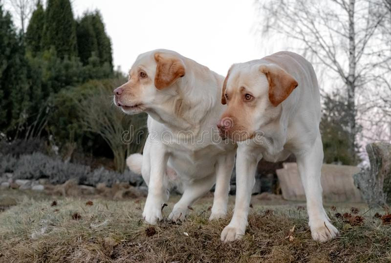 Two yellow labrador retriever dogs stand on their feet royalty free stock image
