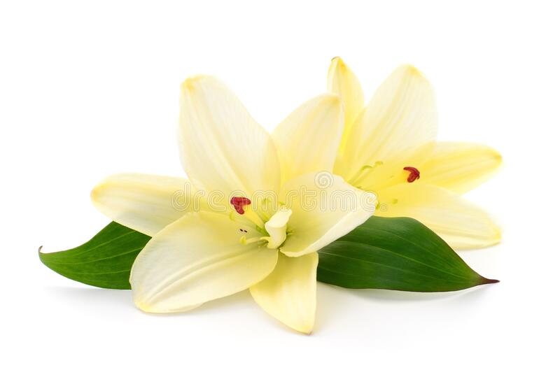 Two yellow lilies stock image