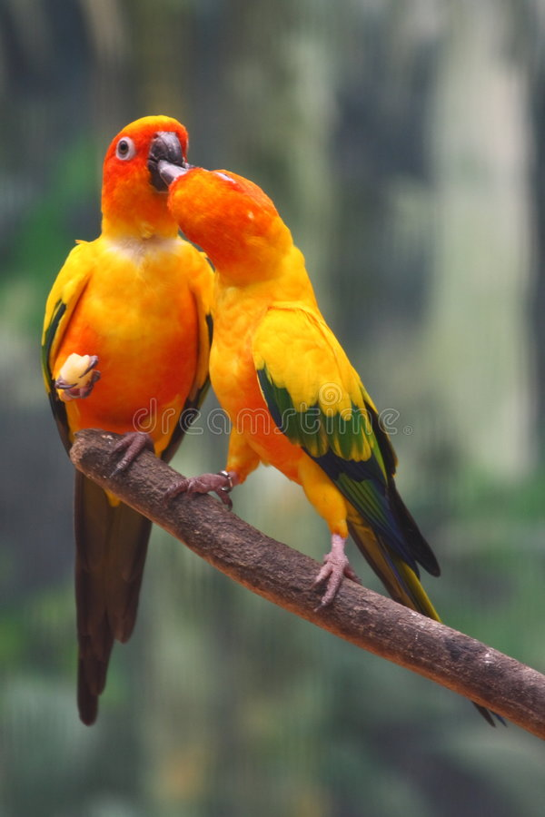 Two Yellow Parrots. Parrots, also known as psittacines, are birds of the roughly 372 species in 86 genera that make up the order Psittaciformes, found in most royalty free stock photo