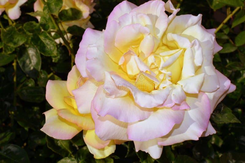 Yellow rose in the garden stock photos