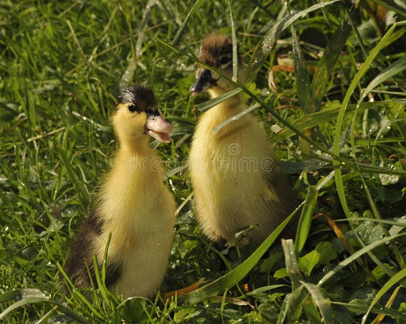 Springily duckling on the grass. royalty free stock photo