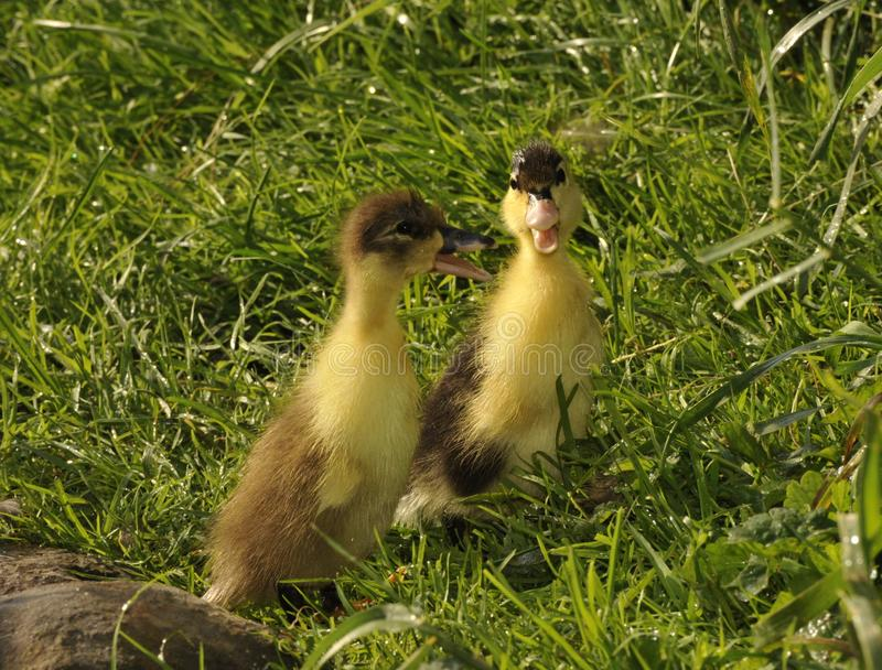 Springily duckling on the grass stock images