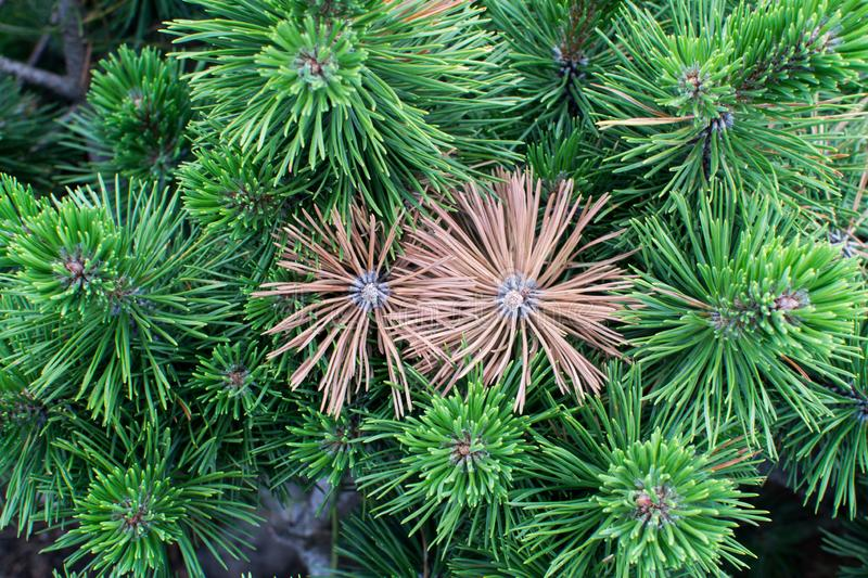 Two yellowed spruce twigs among greens close-up royalty free stock photography