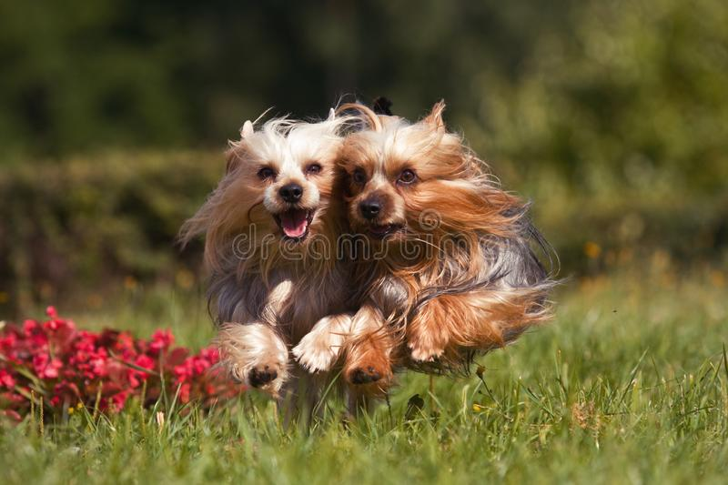 Two york dogs running into the camera stock photography