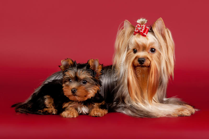 Two Yorkies Royalty Free Stock Image