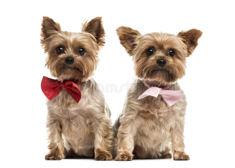 Two yorkshire with bow tie sitting, isolated stock image