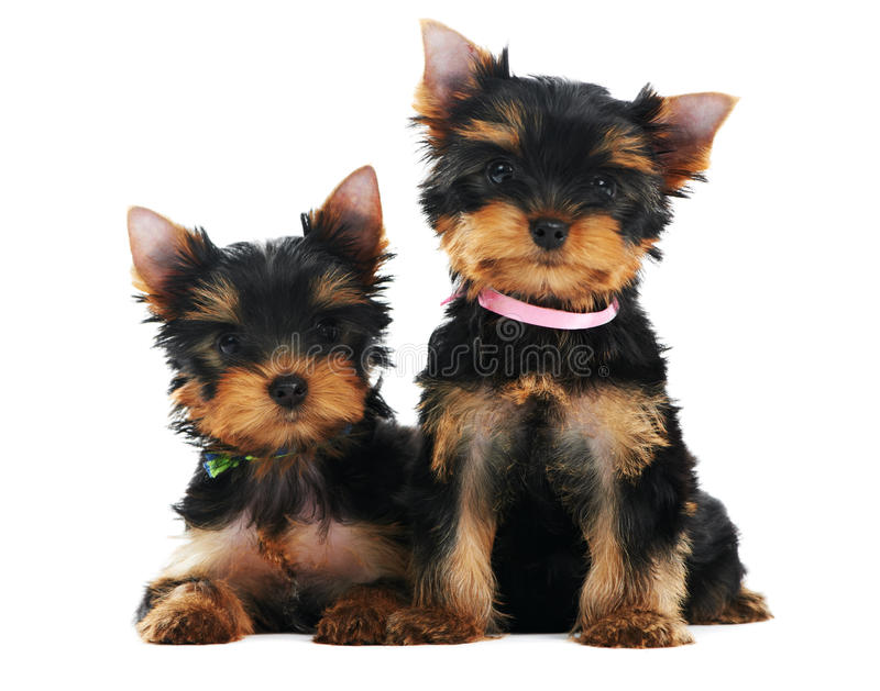 Two Yorkshire Terrier 3 month stock photography