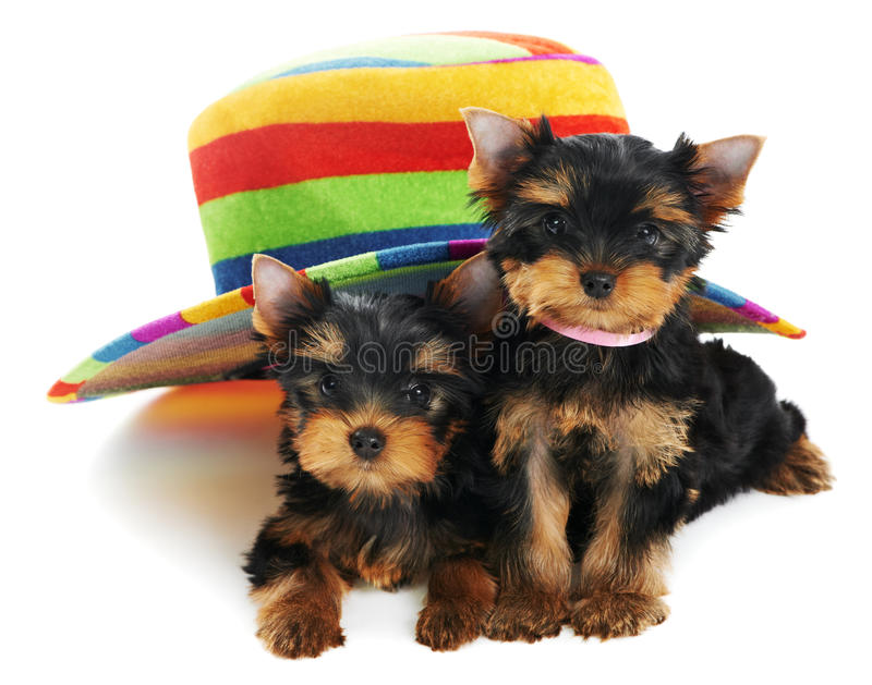 Download Two Yorkshire Terrier 3 Month Stock Photo - Image: 20107164