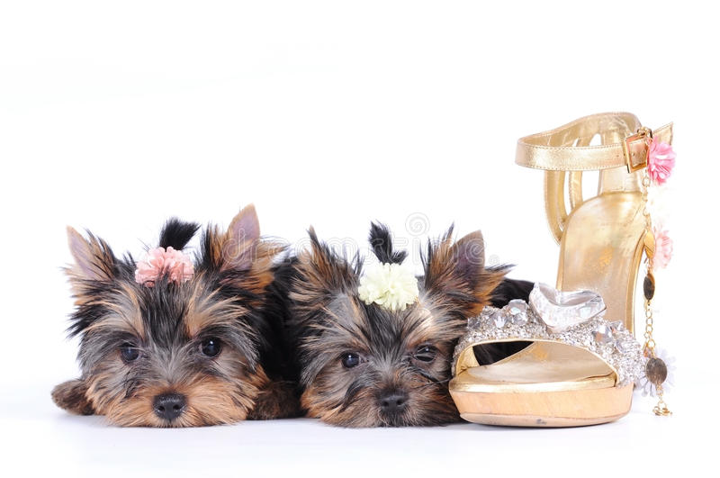 Download Two Yorkshire Terrier Puppies Stock Photo - Image: 15457296