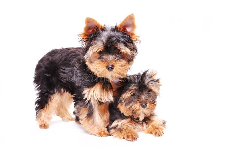 Two Yorkshire terrier puppy. Sitting on a white background stock photos