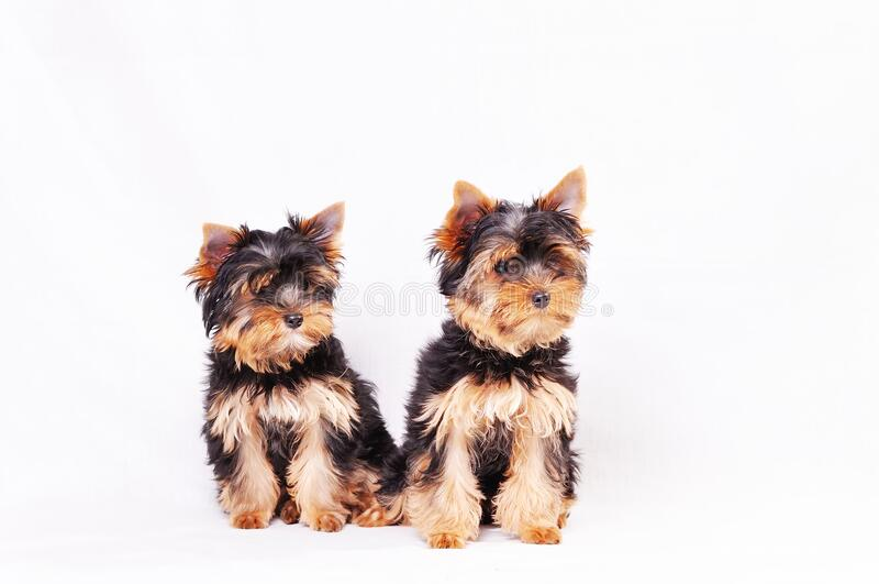 Two Yorkshire terrier puppy. Sitting on a white background royalty free stock image