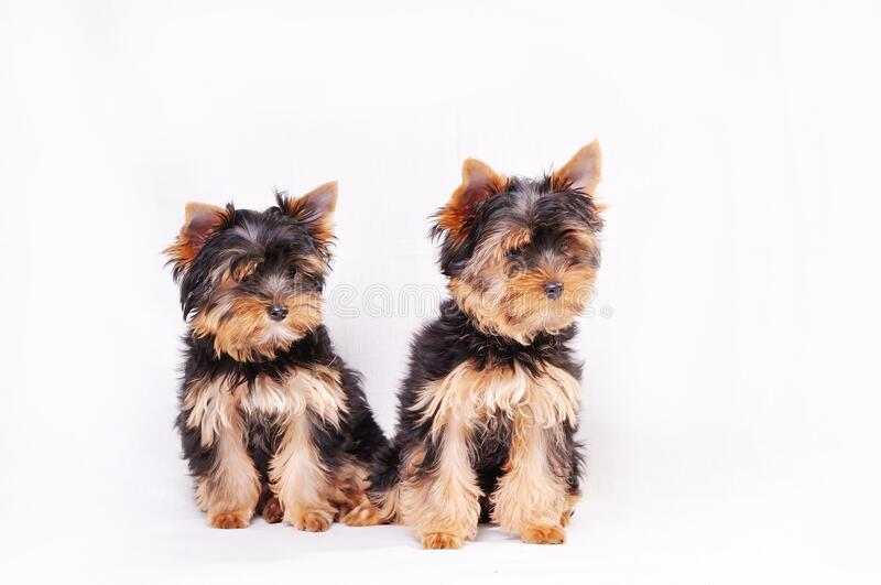 Two Yorkshire terrier puppy. Sitting on a white background stock photography