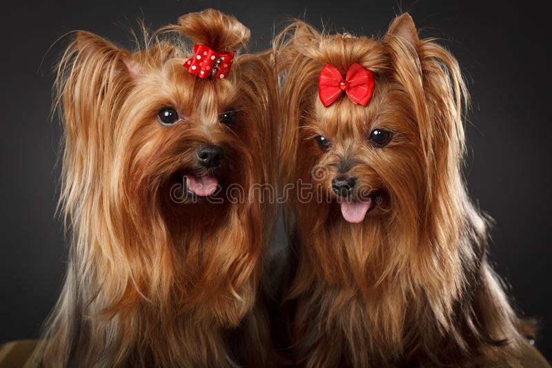 Download Two Yorkshire Terriers Royalty Free Stock Photo - Image: 19167675