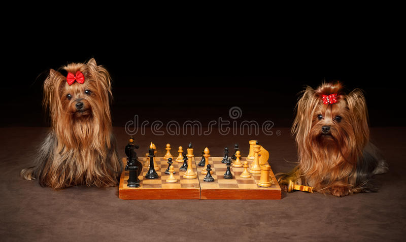 Download Two Yorkshire Terriers stock image. Image of coat, nose - 19167755