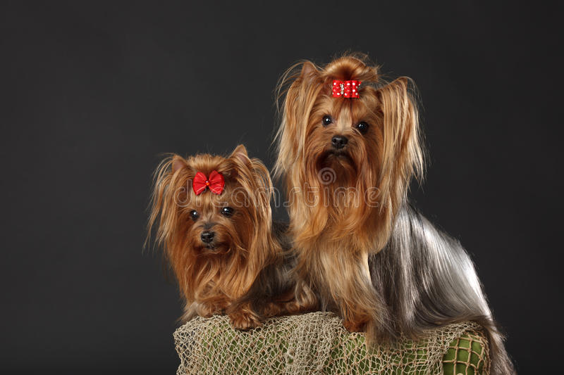 Download Two Yorkshire Terriers stock image. Image of face, coat - 19167791