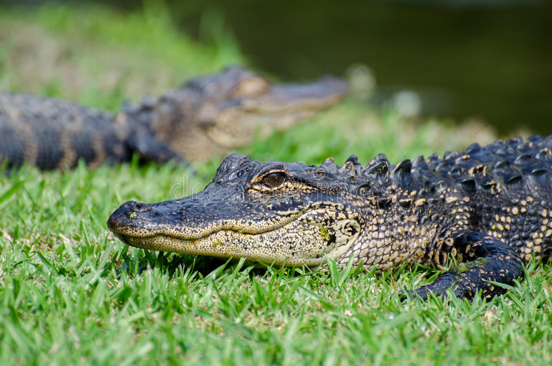 Two young Alligators Magnolia Springs State Park stock photo
