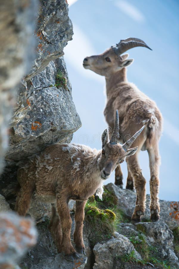 Download Two Young Alpine Ibex (lat. Capra Ibex Royalty Free Stock Images - Image: 25580259