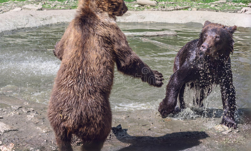 Two young bears playing near the water. Wet Bear attacks another bear stock images