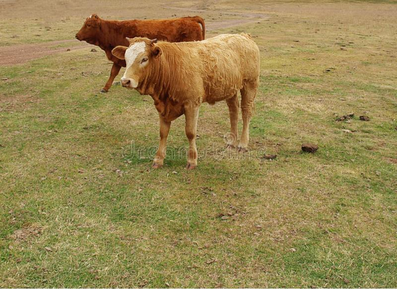 Two young beef cattle. Two young brown cows, beef cattle breed stock images