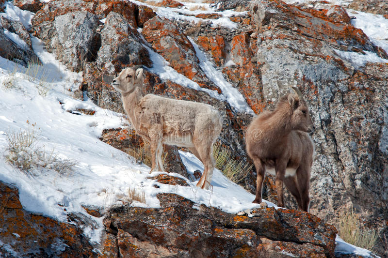 Two young Bighorn Sheep on snowy cliff's edge near Jackson Wyoming stock photo