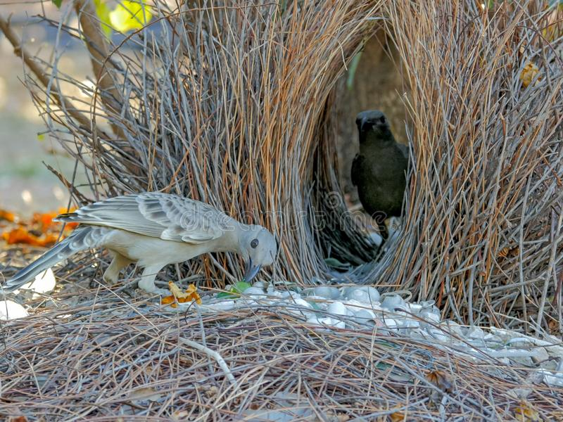 Two young bowerbirds practice at a bower of twigs. Two young bowerbirds practice at a bower constructed of twigs stock images
