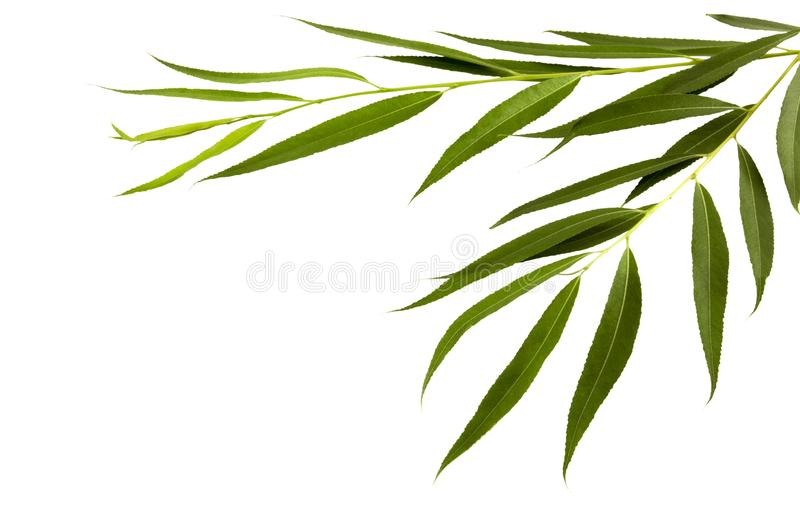Two young branches of a willow stock photos