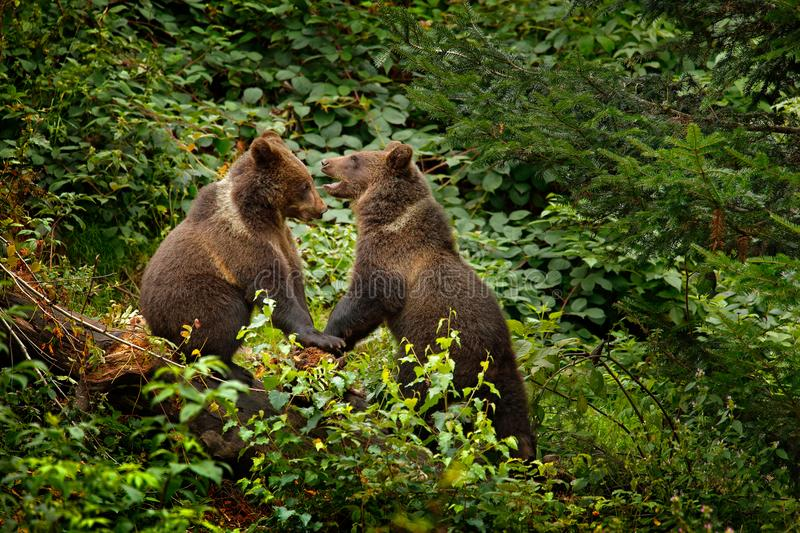 Two young brown bear lost in the forest. Portrait of brown bear, sitting on the green tree, animal in the nature habitat, Slovakia stock photography