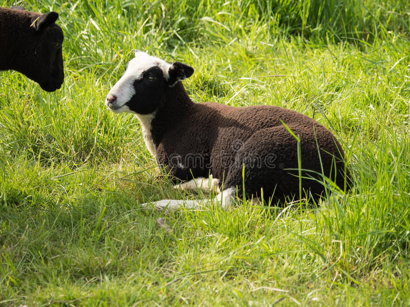 Two young brown sheep look at each other, one lying on a green m stock photography