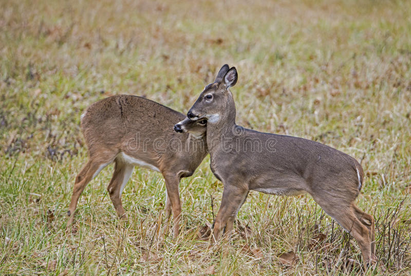 Two young Button Bucks playing together. Two young bucks together in Cades Cove stock photo